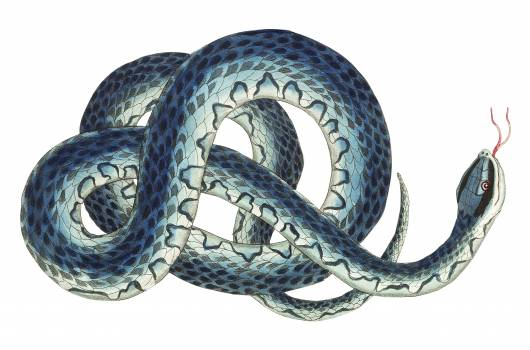 Fasciated snake or Blue snake or wampum snake illustration from The Naturalist's Miscellany (1789-1813) by George Shaw (1751-1813). Free Photo