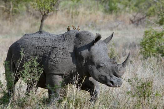 Rhinoceros Walking on Green Grass during Daytime Free Photo
