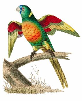 Red-breasted Parrakeet or Long-tailed Green Parrot illustration from The Naturalist's Miscellany (1789-1813) by George Shaw (1751-1813) #396916