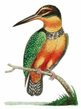Spotted Kingfisher illustration from The Naturalist's Miscellany (1789-1813) by George Shaw (1751-1813) #396925