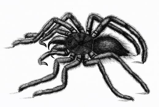Illustration of Avicularia (Aranea avicularia) from Zoological lectures delivered at the Royal institution in the years 1806-7 illustrated by George Shaw (1751-1813). #396936