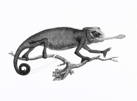 Illustration of Chameleon from Zoological lectures delivered at the Royal institution in the years 1806-7 illustrated by George Shaw (1751-1813). Original from The New York Public Library.  #396940