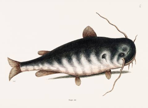Cat Fish (Bagre Secunde) from The natural history of Carolina, Florida, and the Bahama Islands (1754) by Mark Catesby (1683-1749). Original from Biodiversity Heritage Library.  #396955