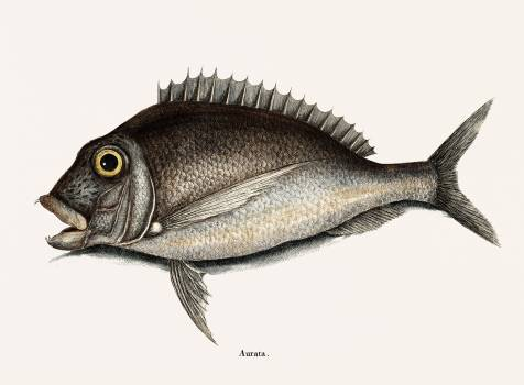 Porgy (Aurata Bahamensis) from The natural history of Carolina, Florida, and the Bahama Islands (1754) by Mark Catesby (1683-1749). Original from Biodiversity Heritage Library.  #396956