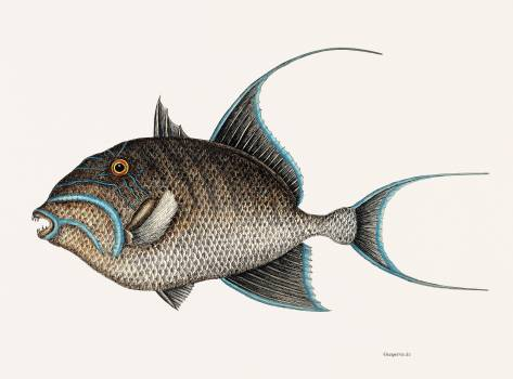 Old Wife Fish (Guaperva Maxima Caudata) from The natural history of Carolina, Florida, and the Bahama Islands (1754) by Mark Catesby (1683-1749). Original from Biodiversity Heritage Library.  #396957