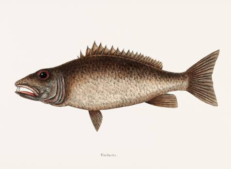 Mangrove Snapper (Turdus) from The natural history of Carolina, Florida, and the Bahama Islands (1754) by Mark Catesby (1683-1749). Original from Biodiversity Heritage Library.  Free Photo