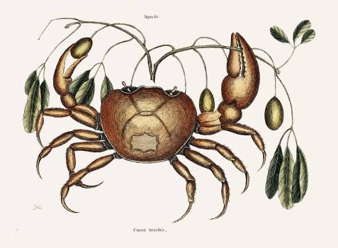 Land crab (Cancer terrestris) from The natural history of Carolina, Florida, and the Bahama Islands (1754) by Mark Catesby (1683-1749). Original from Biodiversity Heritage Library.  #396976