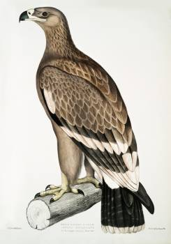 White-banded Eagle (Aquila bifasciata) from Illustrations of Indian zoology (1830-1834) by John Edward Gray (1800-1875). Original from The New York Public Library.  Free Photo