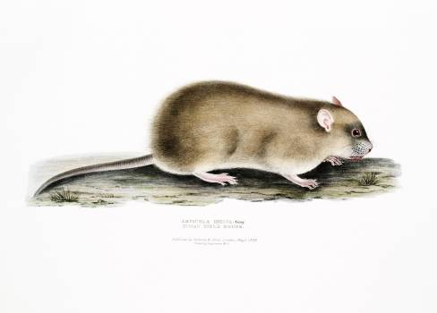 Indian Field Mouse (Arvicola Indica) from Illustrations of Indian zoology (1830-1834) by John Edward Gray (1800-1875). Original from The New York Public Library.  #396992