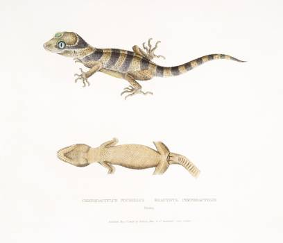 Beautiful Cyrtodactylus (Cyrtodactylus pulchellus) from Illustrations of Indian zoology (1830-1834) by John Edward Gray (1800-1875). Original from The New York Public Library.  #396998