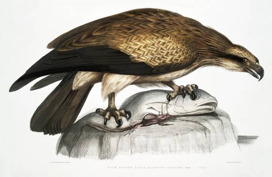 Plain Fishing Eagle (Haliætus unicolor) from Illustrations of Indian zoology (1830-1834) by John Edward Gray (1800-1875). Original from The New York Public Library.  Free Photo
