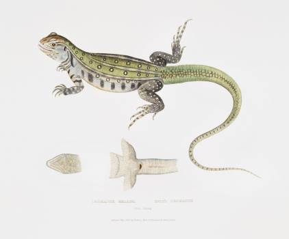 Bell's Uromastix (Uromastix Bellii) from Illustrations of Indian zoology (1830-1834) by John Edward Gray (1800-1875). Original from The New York Public Library.  #397039