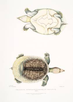 Flat Trionyx (Tryonix subplanus) from Illustrations of Indian zoology (1830-1834) by John Edward Gray (1800-1875). Original from The New York Public Library.  Free Photo