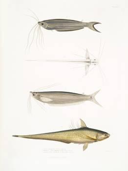 1. Cuvier's Acanthonotus (Silurus (Acanthonotus) Cuvieri); 2. Bengal Ailia (Malapterus (Ailia) Bengalensis); 3. Hamilton's Coilia (Engraulis (Coilia) Hamiltonii) from Illustrations of Indian zoology (1830-1834) by John Edward Gray (1800-1875). Original fr Free Photo
