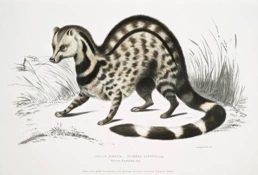 Indian Zibeth (Viverra Zibetta) from Illustrations of Indian zoology (1830-1834) by John Edward Gray (1800-1875). Original from The New York Public Library.  #397063