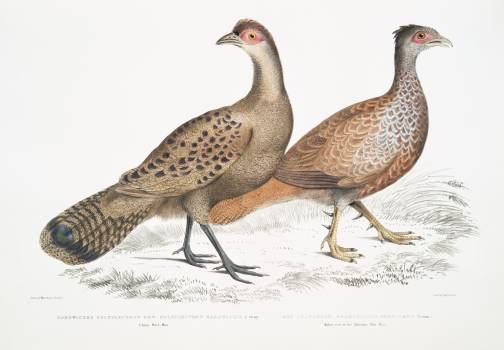 1. Hardwicke's Polyplectron Hen (Polyplectron Hardwickii) 2. Bay Many Spurred Francolin (Plectophora (Francolinus) spadiceus) from Illustrations of Indian zoology (1830-1834) by John Edward Gray (1800-1875). Original from The New York Public Library.  #397067