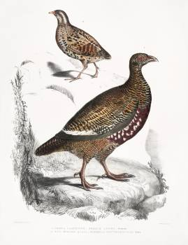 1. Lerwa Partridge (Perdix Lerwa); 2. Red Billed Quail (Coturnix erythrorhyncha) from Illustrations of Indian zoology (1830-1834) by John Edward Gray (1800-1875). Original from The New York Public Library.  #397068