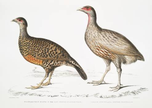 1. Lady North's Polyplectron (Pectrophora (Polyplectron) Northiæ); 2. Dotted Partridge (Perdix punctulata) from Illustrations of Indian zoology (1830-1834) by John Edward Gray (1800-1875). Original from The New York Public Library.  #397070