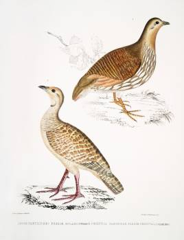 1. Wood Partridge (Perdix gularis); 2. Oriental Partridge (Perdix orientalis) from Illustrations of Indian zoology (1830-1834) by John Edward Gray (1800-1875). Original from The New York Public Library.  #397085