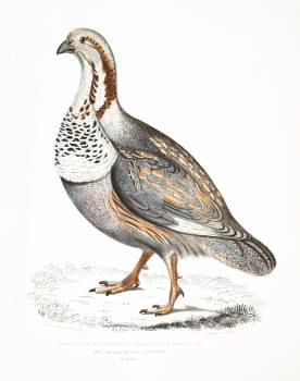 Nigell's Pheasant Grouse (Tetraogallus Nigellii) from Illustrations of Indian zoology (1830-1834) by John Edward Gray (1800-1875). Original from The New York Public Library.  #397092