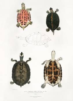 Eaved Terrapin (Emys tectum) from Illustrations of Indian zoology (1830-1834) by John Edward Gray (1800-1875). Original from The New York Public Library.  Free Photo