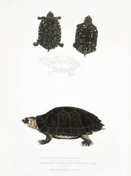 1. Spotted Terrapin (Emys Hamiltonii); 2. Thicknecked Terrapin (Emys crassicollis) from Illustrations of Indian zoology (1830-1834) by John Edward Gray (1800-1875). Original from The New York Public Library.  Free Photo