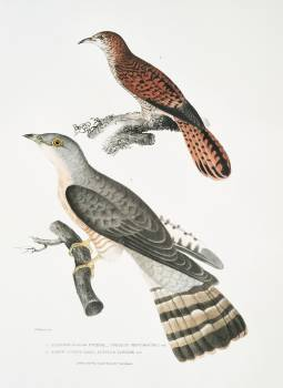 1. Slender billed Cuckoo (Cuculus tenuirostris); 2. Brow Cuckoo (Cuculus Lathami) from Illustrations of Indian zoology (1830-1834) by John Edward Gray (1800-1875). Original from The New York Public Library.  #397128
