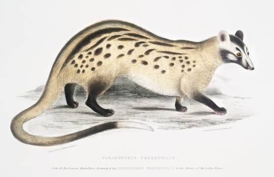Prehensile Paradoxurus (Paradoxurus prehensilis) from Illustrations of Indian zoology (1830-1834) by John Edward Gray (1800-1875). Original from The New York Public Library.  #397135