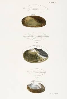 229. Anodon subcylindracea. 230. Anodon ferussaciana. 231. Anodon edentula. illustration from Zoology of New York (1842–1844) by James Ellsworth De Kay. Original from The New York Public Library.  #397234