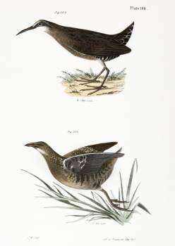 223. Mud-hen (Rallus virginianus) 224. Sora Rail (Ortygometra Carolina) illustration from Zoology of New York (1842–1844) by James Ellsworth De Kay. Original from The New York Public Library.  #397238