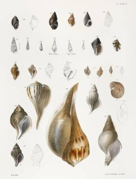 Different types of seashells illustration from Zoology of New York (1842–1844) by James Ellsworth De Kay. Original from The New York Public Library.  #397244