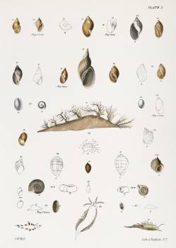 Different types of seashells illustration from Zoology of New York (1842–1844) by James Ellsworth De Kay. Original from The New York Public Library.  #397247