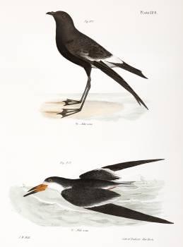 271. Wilson's Petrel (Thalassidroma wilsoni) 272. Black Skimmer (Rhynchops nigra) illustration from Zoology of New York (1842–1844) by James Ellsworth De Kay. Original from The New York Public Library.  Free Photo