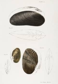 224. Alasmodon arcuata. 225. Alasmodon marginata. 226. Alasmodon rugosa. illustration from Zoology of New York (1842–1844) by James Ellsworth De Kay. Original from The New York Public Library.  #397335