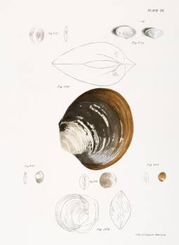 Different types of seashells illustration from Zoology of New York (1842–1844) by James Ellsworth De Kay. Original from The New York Public Library.  Free Photo