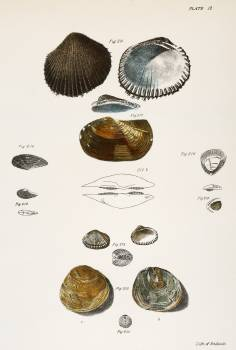 Different types of seashells illustration from Zoology of New York (1842–1844) by James Ellsworth De Kay. Original from The New York Public Library.  #397359