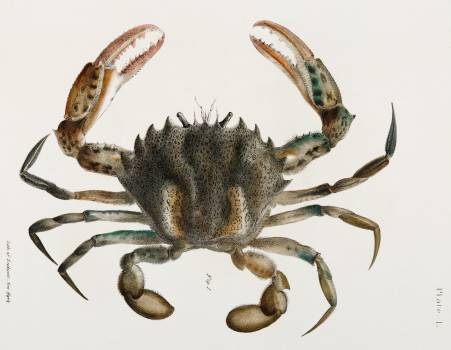 1. Lady Crab (Platyonichus ocellatus) illustration from Zoology of New York (1842–1844) by James Ellsworth De Kay. Original from The New York Public Library.  #397360