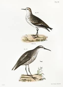 195. Semipalmated Sandpiper (Heterepoda semipalmata) 196. Long-legged Sandpiper (Hemipalma himantopus) illustration from Zoology of New York (1842–1844) by James Ellsworth De Kay. Original from The New York Public Library.  #397377