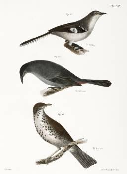 84. The Mocking-bird (Orpheus polyglottus) 85. The Cat-bird (Orpheus carolinensis) 86. The Wood Thrush (Merula mustelina) illustration from Zoology New York (1842–1844) by James Ellsworth De Kay. Original from The New York Public Library.  #397409