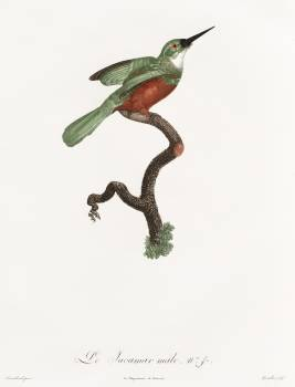 Green-tailed Jacamar,male from Histoire Naturelle des Oiseaux de Paradis et Des Rolliers (1806) by Jacques Barraband (1767-1809). Original from The New York Public Library.  Free Photo