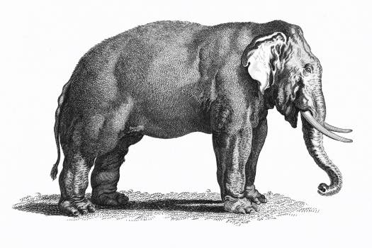 Illustration of Elephant from Zoological lectures delivered at the Royal institution in the years 1806-7 illustrated by George Shaw (1751-1813). Original from The New York Public Library.  #397609