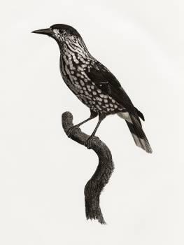 Nutcracker from Histoire Naturelle des Oiseaux de Paradis et Des Rolliers (1806) by Jacques Barraband (1767-1809). Original from The New York Public Library.  Free Photo
