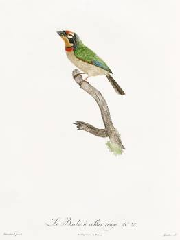 Black-collared barbet from Histoire Naturelle des Oiseaux de Paradis et Des Rolliers (1806) by Jacques Barraband (1767-1809). Original from The New York Public Library.  #397633