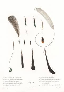 King bird of paradise feather and tail from Histoire Naturelle des Oiseaux de Paradis et Des Rolliers (1806) by Jacques Barraband(1767-1809). Original from The New York Public Library.  Free Photo
