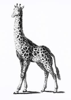 Giraffe from Zoological lectures delivered at the Royal institution in the years 1806-7 illustrated by George Shaw (1751-1813). Original from The New York Public Library.  #397667