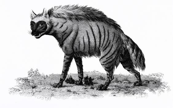 Striped Hyena from Zoological lectures delivered at the Royal institution in the years 1806-7 illustrated by George Shaw (1751-1813). Original from The New York Public Library.  Free Photo