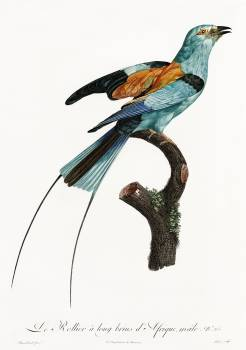 Long-stranded African roller from Histoire Naturelle des Oiseaux de Paradis et Des Rolliers (1806) by Jacques Barraband (1767-1809). Original from The New York Public Library.  #397743