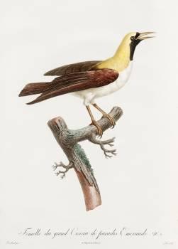Emperor bird-of-paradise, female from Histoire Naturelle des Oiseaux de Paradis et Des Rolliers (1806) by Jacques Barraband (1767-1809). Original from The New York Public Library.  #397745