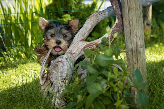 Yorkshire Terrier Puppy Hiding Behind Tree Root #39775