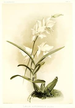Lælia autumnalis alba from Reichenbachia Orchids (1888-1894) illustrated by Frederick Sander (1847-1920). Original from The New York Public Library.  #397843